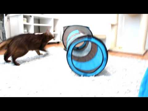 Somali kitten and a new tunnel toy