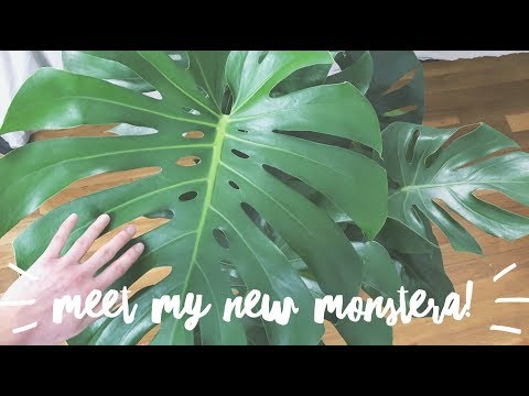 my new monstera babe! | house plant | easy care