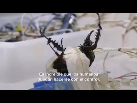 Insectos Cyborg de Singapur... ¿Pasará con los vacunados también?