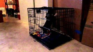 Basset Hound Puppy Howling