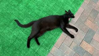 Ищем дом для нашей девочки Багиры! Красивая кошка ищет хозяев !