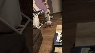 """Nala - Sphynx cat - Nhà tôi có 1 con """"chó"""""""