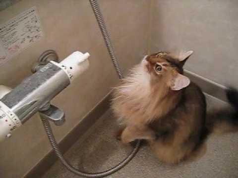 somali cat vs water drops in bath room.