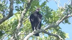 Black vulture in tree near cabin, 4 Jun 2019
