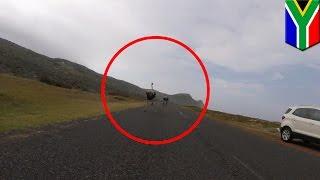 珍事!サイクリング中にダチョウが乱入 時速50キロで並走する動画が話題に