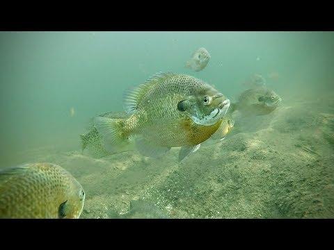 Where Do Spring Panfish Hangout?