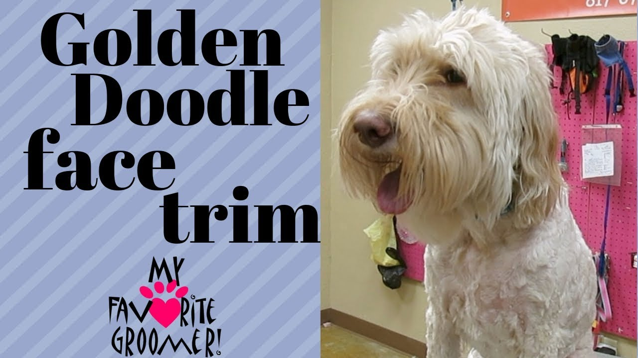 How To Trim A Golden Doodle Face