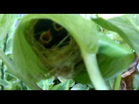 Mother bird feeding babies in a leaf (2)