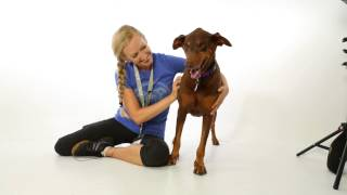 Meet Adele A Doberman Pinscher Currently Available For Adoption At Petango.com! 8/13/2015 6:13:56 Pm