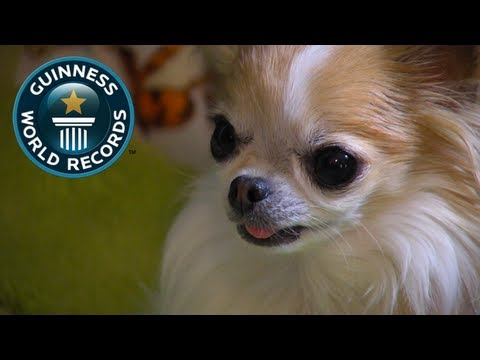 smallest service dog meet the record breakers guinness world records youtube