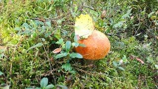 Собираем грибы.Европейский лес. Mushroom picking.European forest