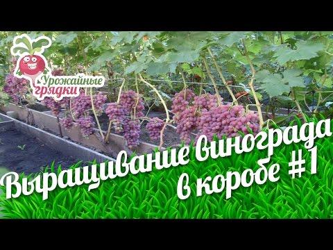 Выращивание винограда в коробе. Формирование лозы и способы подвязки винограда #1