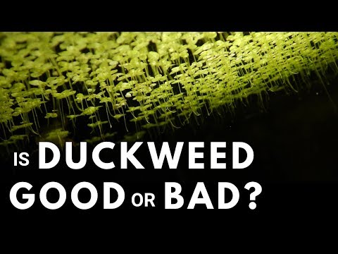 Should You Have Duckweed In Your Aquarium?