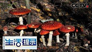 《生活提示》 20190903 食用野生菌要慎重| CCTV