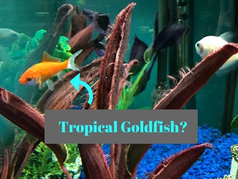 Goldfish With Tropical Fish