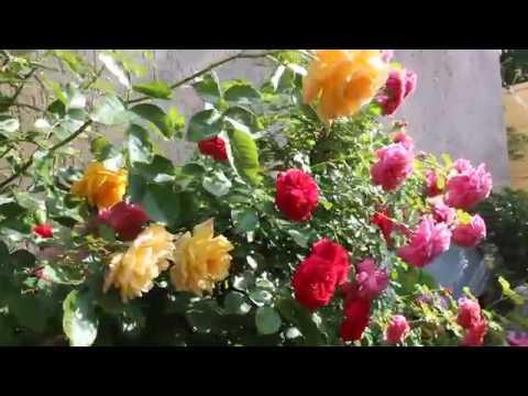 Роза принцесса Александра оф Кент зацвела  последней  май 2019