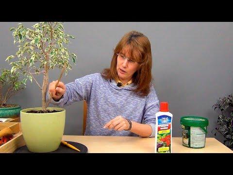 Чем удобрять фикусы в домашних условиях