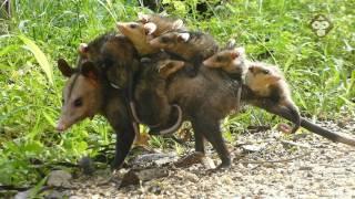 Rabipelado Con Crías, Zarigueya, Caparo, Venezuela