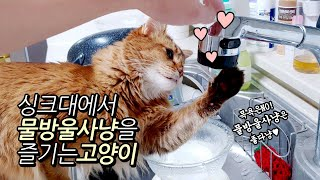 싱크대 물 틀어달라는 귀여운 소말리 고양이