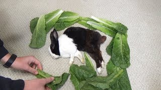 Waking A Sleeping Rabbit By Surrounding Him with Lettuce