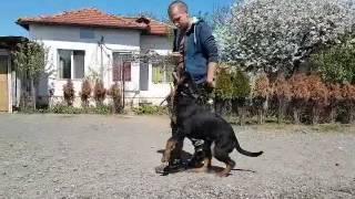 Училище за кучета K9 World - обучение на ротвайлер