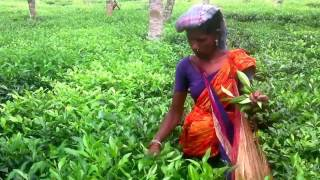Bangladesh,  Sylhet,   A Beautiful Tea Garden In Srimongal   2016