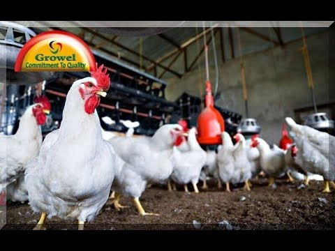 How To Do Successful Broiler Production ?