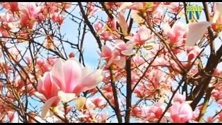 видео Ужгород цветение Сакуры