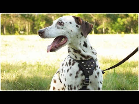 Rona the Dalmatian in Spiked Leather Harness