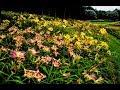 The Daylily Garden at Georgia's Gibbs Gardens Video 1 of 2