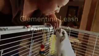 Amazing Clementine Doing Bunny Tricks & Leash Training!! 3 1/2 Month Holland Lop