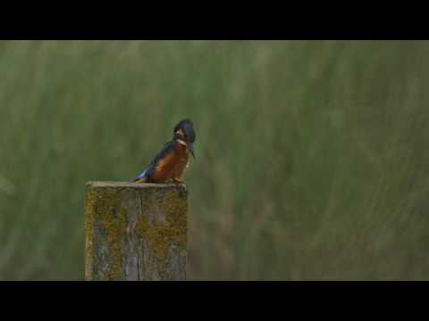 Kingfisher at the lagoon at Gibraltar Point nature reserve