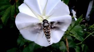 cómo no quedarse para ver esta mariposa de noche gigante