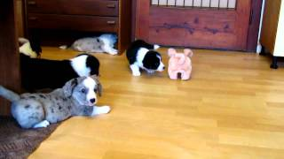 Welsh Corgi Cardigan 6 Weeks Old Puppies - Herding Pig Ii.mov