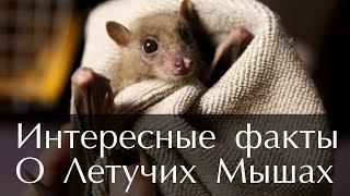Интересные факты о Летучих Мышах (Фото и Видео)