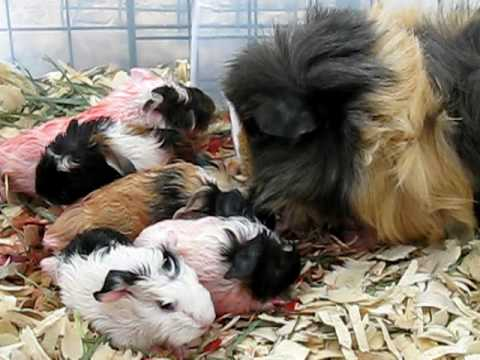 Guinea Pig Giving Birth to Five Babies 4/4