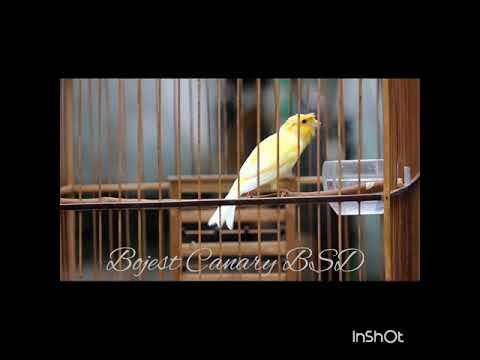 Download Lagu Kenari jambul rupawan #B.Canary BSD
