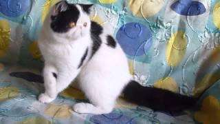 купить котенка экзота  /  for sale