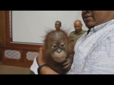 Hallan a un orangután en una maleta en el aeropuerto de Bali