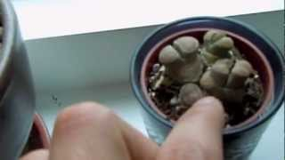 Lithops (Living Stones) Update - Time to think about Watering