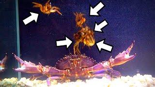 どう猛な巨大ガニの水槽にカニを投入したら凄かった!