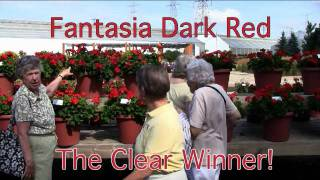 The Darkest Red Geranium - Fantasia Dark Red