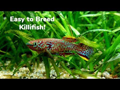 Breeding Gardneri Killifish: Great Beginner Killifish!