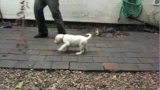 Labrador Puppies For Sale - Nottingham, Uk