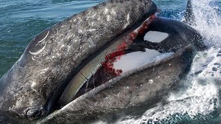 Big Battle Between Gray Whale Vs Dolphin- Who Is The King Of Ocean?
