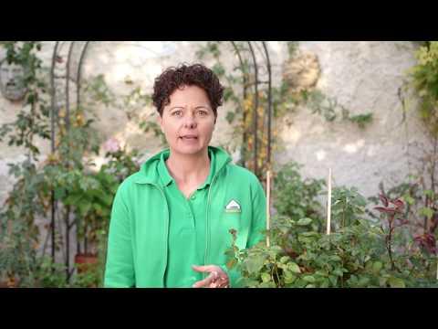 Gartengeheimnisse: Rosen Im Topf