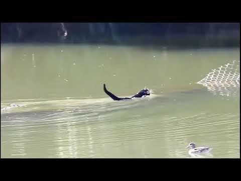 Кошки.Купальный сезон открыт/Cats.The swimming season is open/貓。游泳季節是開放的