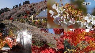 和紙のふるさと小原の紅葉と四季桜 [Network2010]