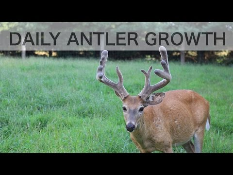 Time Lapse Antler Growth of Whitetail Deer - See How Fast Antlers Grow