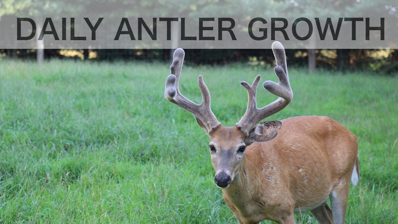 Time lapse antler growth of whitetail deer also see how fast antlers rh youtube